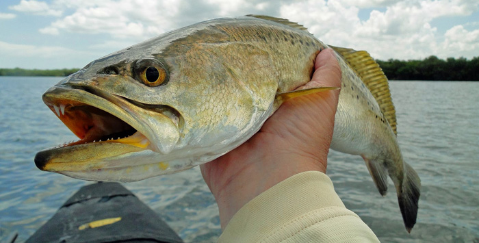 how-to-catch-speckled-sea-trout