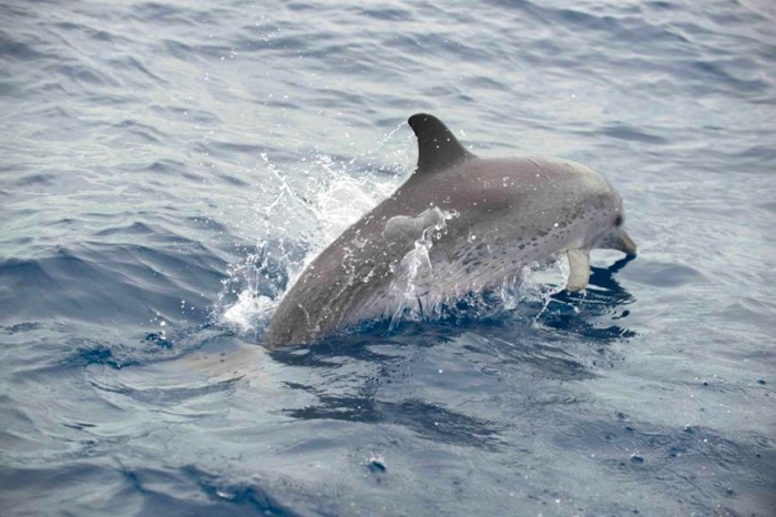 spotted-dolphin-abaco-c2a9bmmro