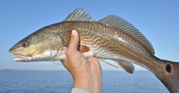 taggedredfish-1024x536